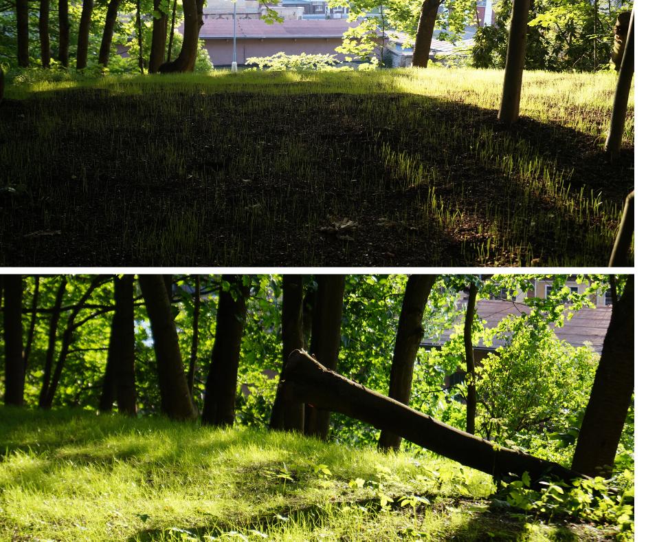Vysetý trávník - pár týdnů rozdíl